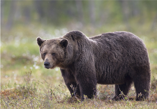 Who's Afraid of the Big Bad Bear?
